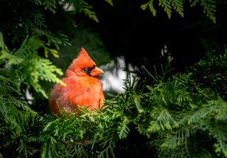 cardinal-082